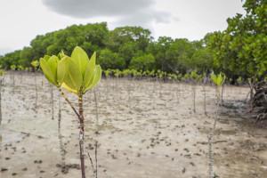 Mangroveplantering